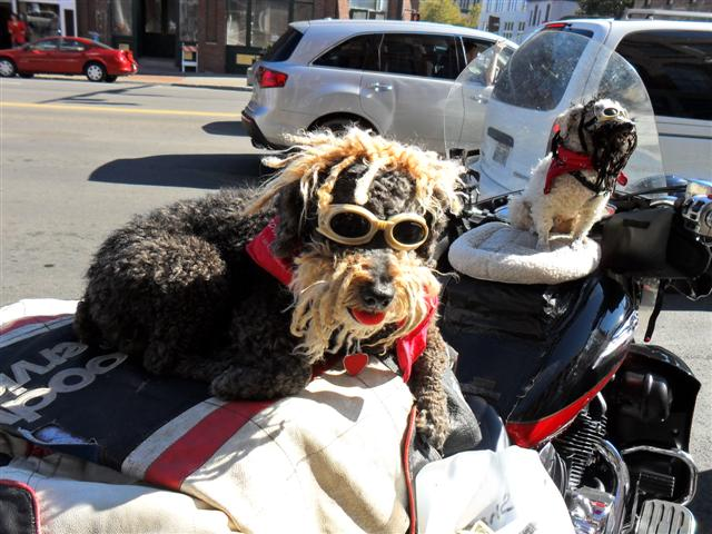 DOG'S & BIKES ATTITUDES - Page 3 IBMA-2011-BIKER-DOGS-2